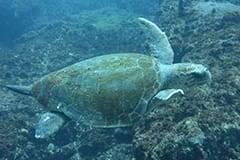 Turtle, Aliwal Shoal