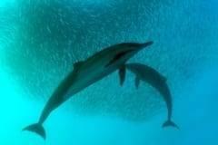 Sardine Run dolphins and sardines