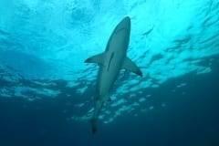 Shark during the Sardine Run
