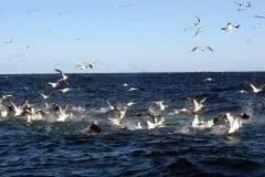 Sardine Run diving gannets