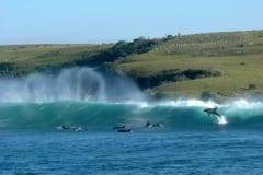 Dolphins Sardine Run