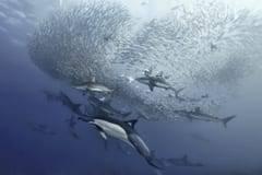 Sardine Run annual sardine migration, dolphins forming bail balls