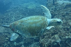 Green Turtle Swimming on Aliwal Shoal