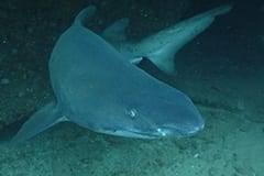 Sardine Run South Africa Aliwal Shoal shark