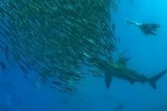 Bait ball with sharks during the Sardine Run, Sardine Run South Africa