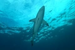 Shark during the Sardine Run