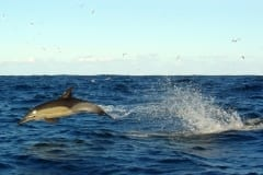 Running Common Dolphins