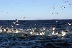 Sardine Run diving gannets