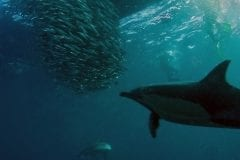 Sardine Run dolphins with baitballs on Sardine Run South Africa