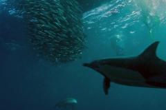 Sardine Run dolphins with baitballs on Sardine Run South Africa