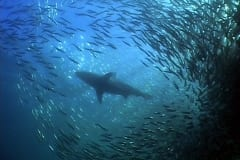 Sardine Run and Shark