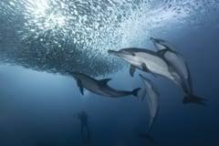 Annual sardine migration