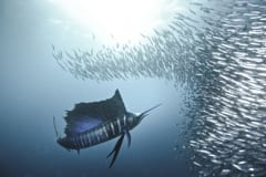 Game Fish Marlin, sardine run