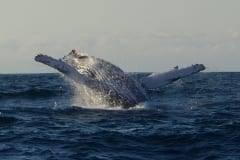 Sardine Run whale