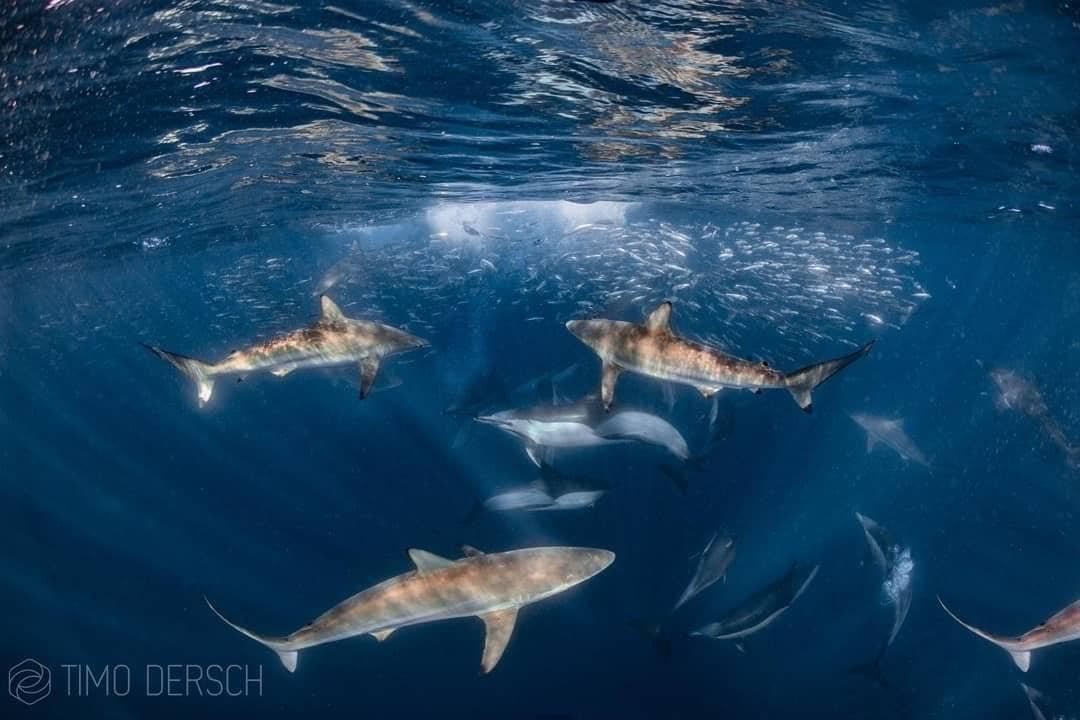Common Dolphins and Dusky Sharks forming a baitball on Sardine Run Ocean Safari in Port St Johns