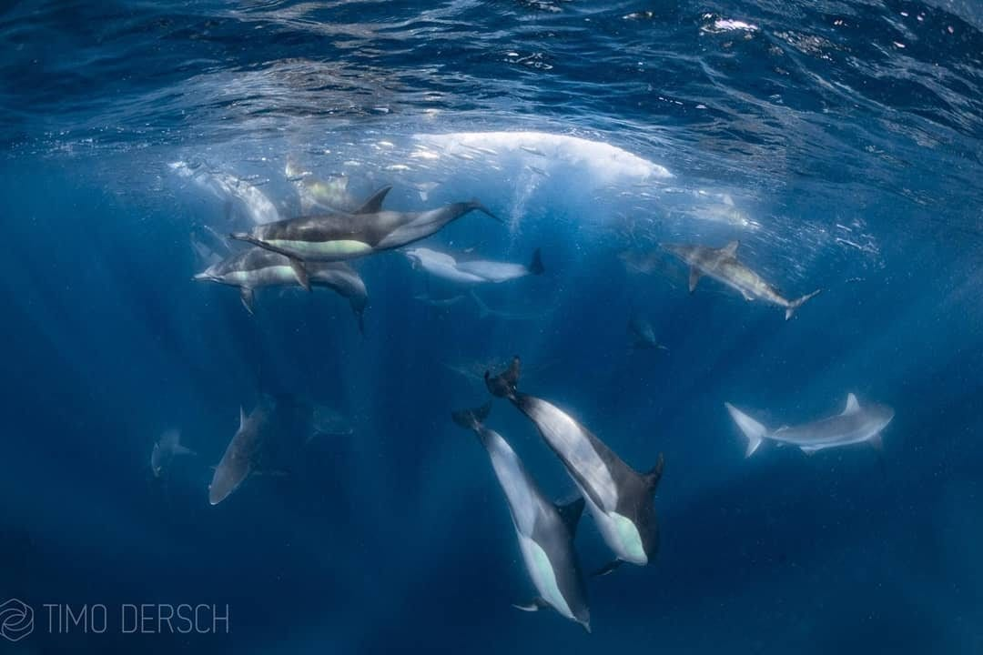 Common Dolphins and Sharks forming a baitball on Sardine Run in Port St Johns