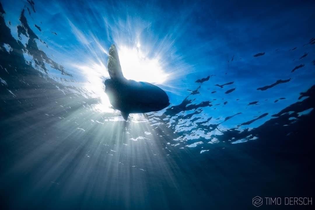 Mola Mola on Sardine Run Ocean Safari in Port St Johns