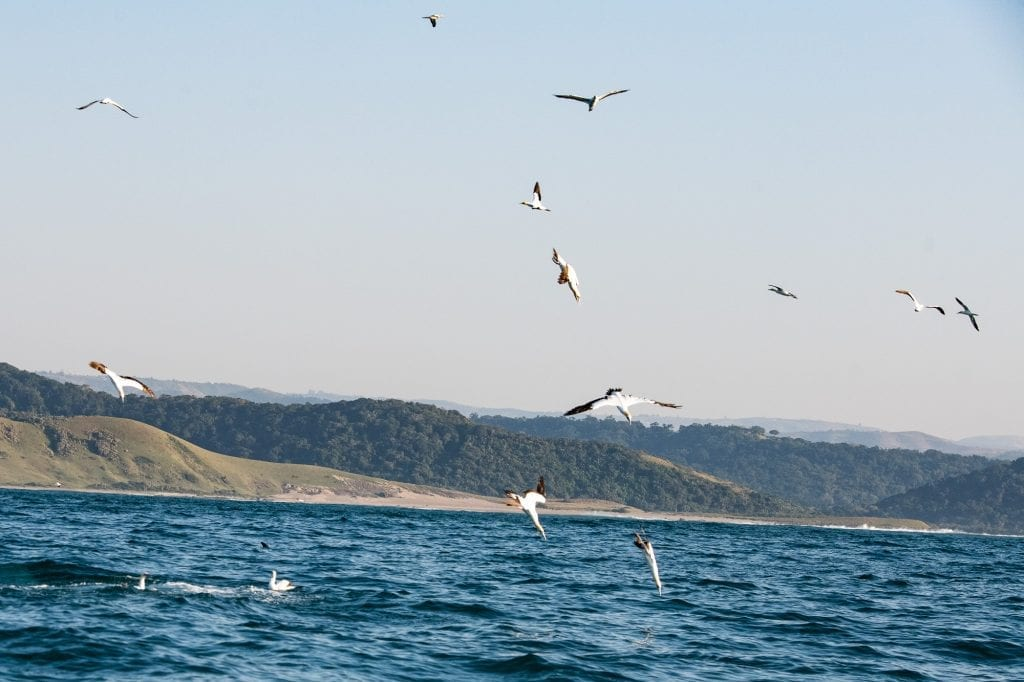 Raining Birds, Cape Gannets indicating where sardines are